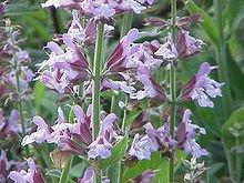 Sage Extract (Salvia Officinalis)